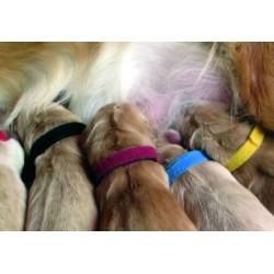 Collares identificativos cachorros (12 uds.)